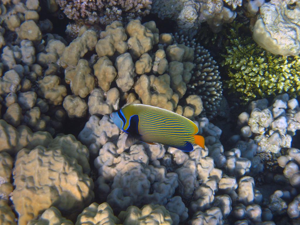 IMG_5619_Императорская рыба-ангел.jpg