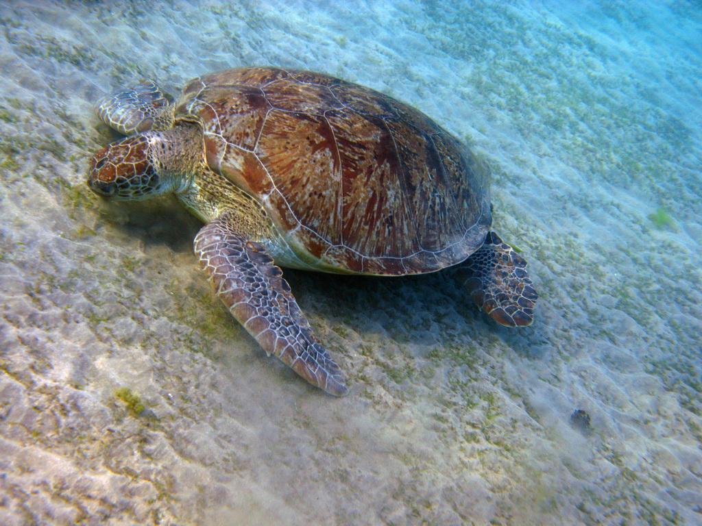 IMG_4131+Зеленая+черепаха.JPG