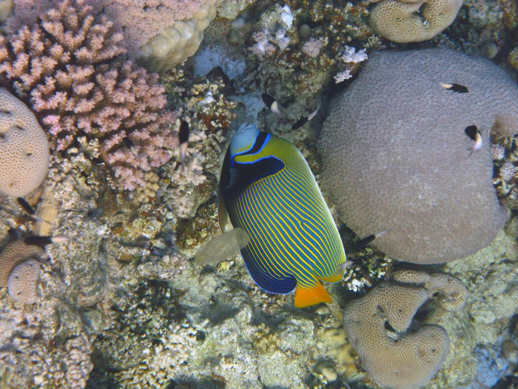 IMG_6644_Императорская рыба-ангел.jpg