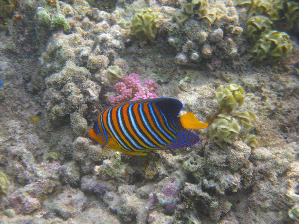 IMG_2677 Королевская рыба-ангел.JPG