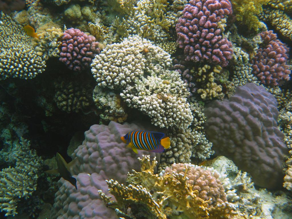 IMG_8316_Королевская рыба-ангел.jpg
