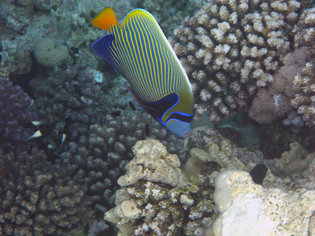 IMG_7033_Императорская рыба-ангел.jpg