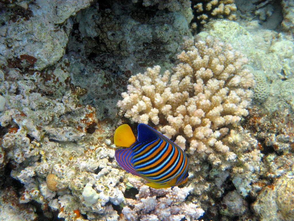 IMG_6436_Королевская рыба-ангел.JPG