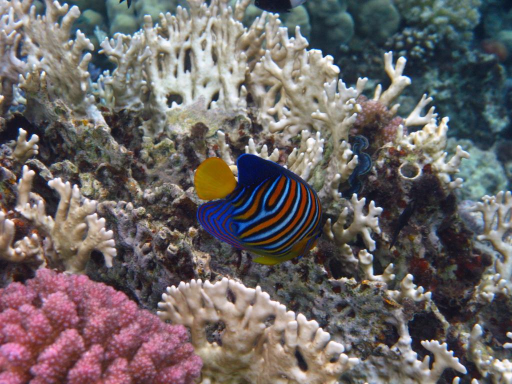 IMG_6388 Королевская рыба-ангел.JPG