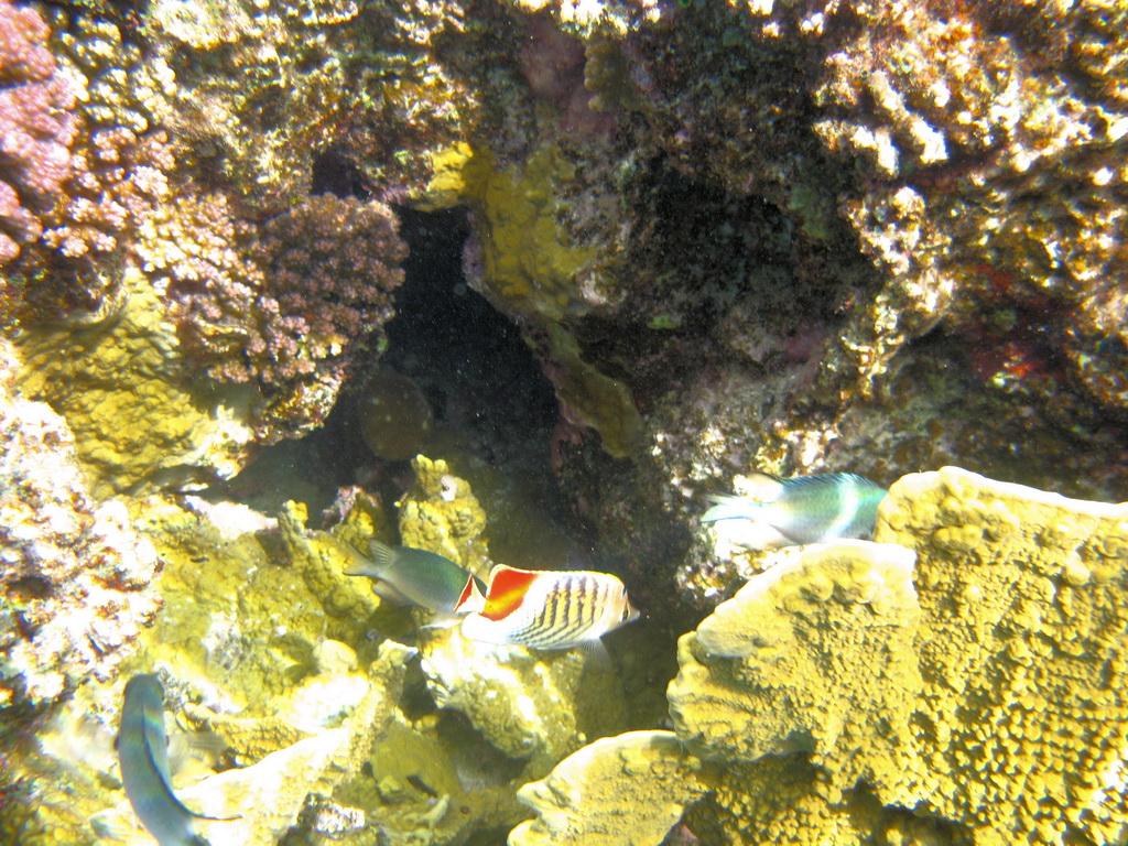 IMG_4485_Красноспинная рыба-бабочка.JPG