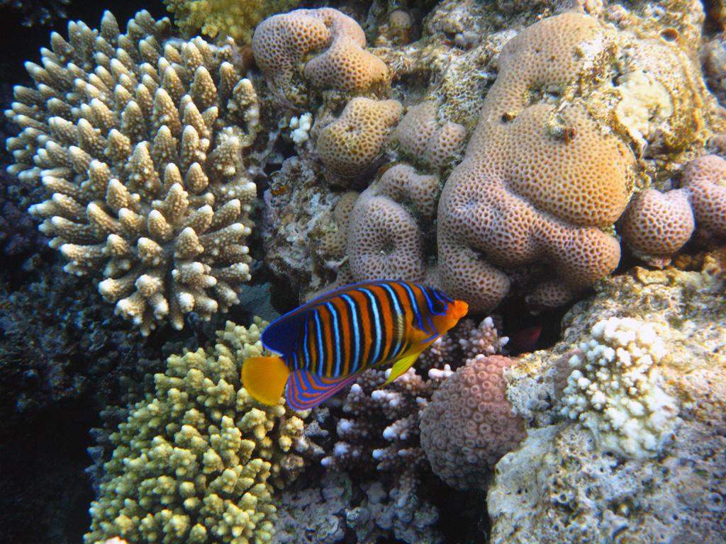 IMG_6515_Королевская рыба-ангел.jpg
