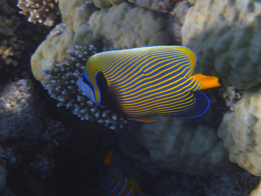 IMG_5624_Императорская рыба-ангел.jpg