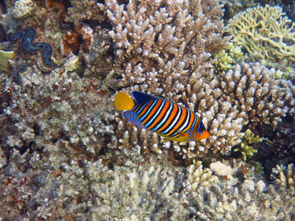 IMG_3305_Королевская рыба-ангел.JPG