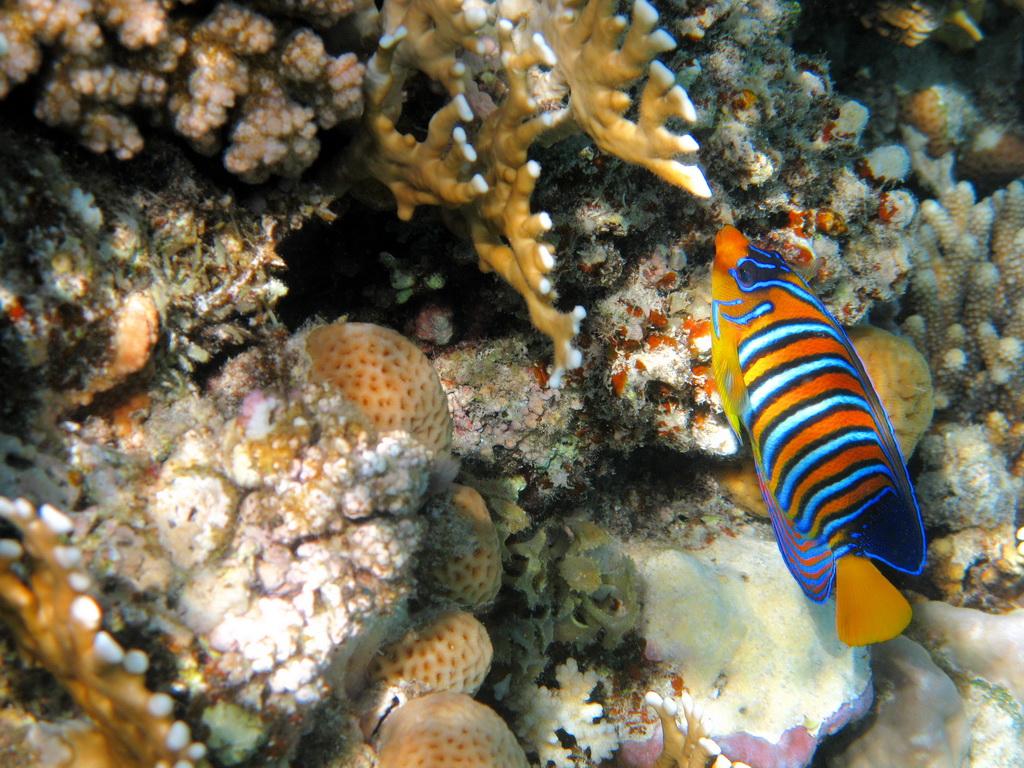 IMG_3740_Королевская рыба-ангел.JPG