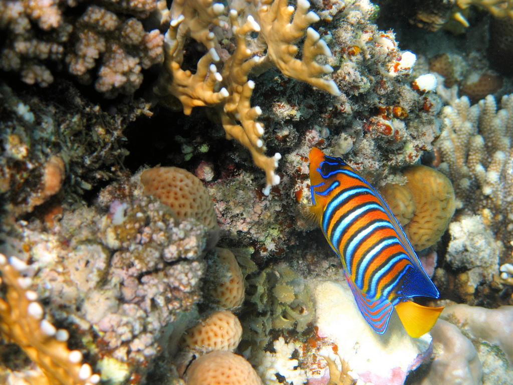 IMG_3739_Королевская рыба-ангел.JPG