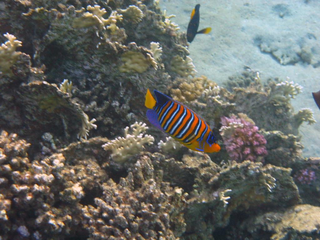 IMG_4414 Королевская рыба-ангел.JPG