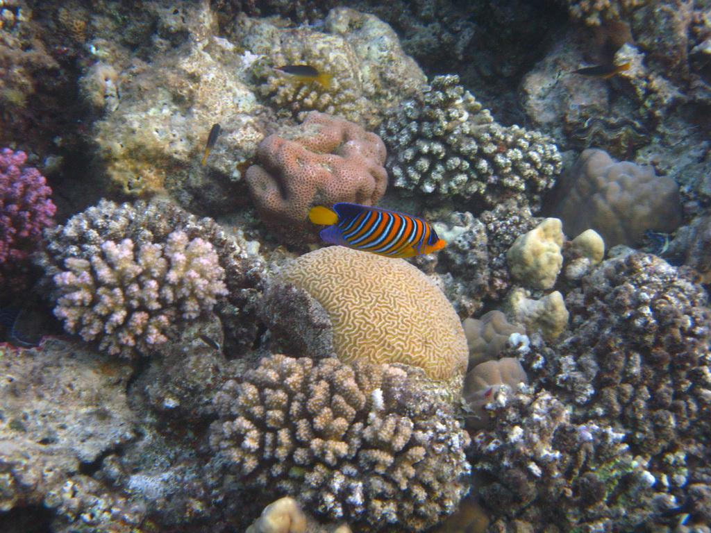 IMG_5937 Королевская рыба-ангел.JPG