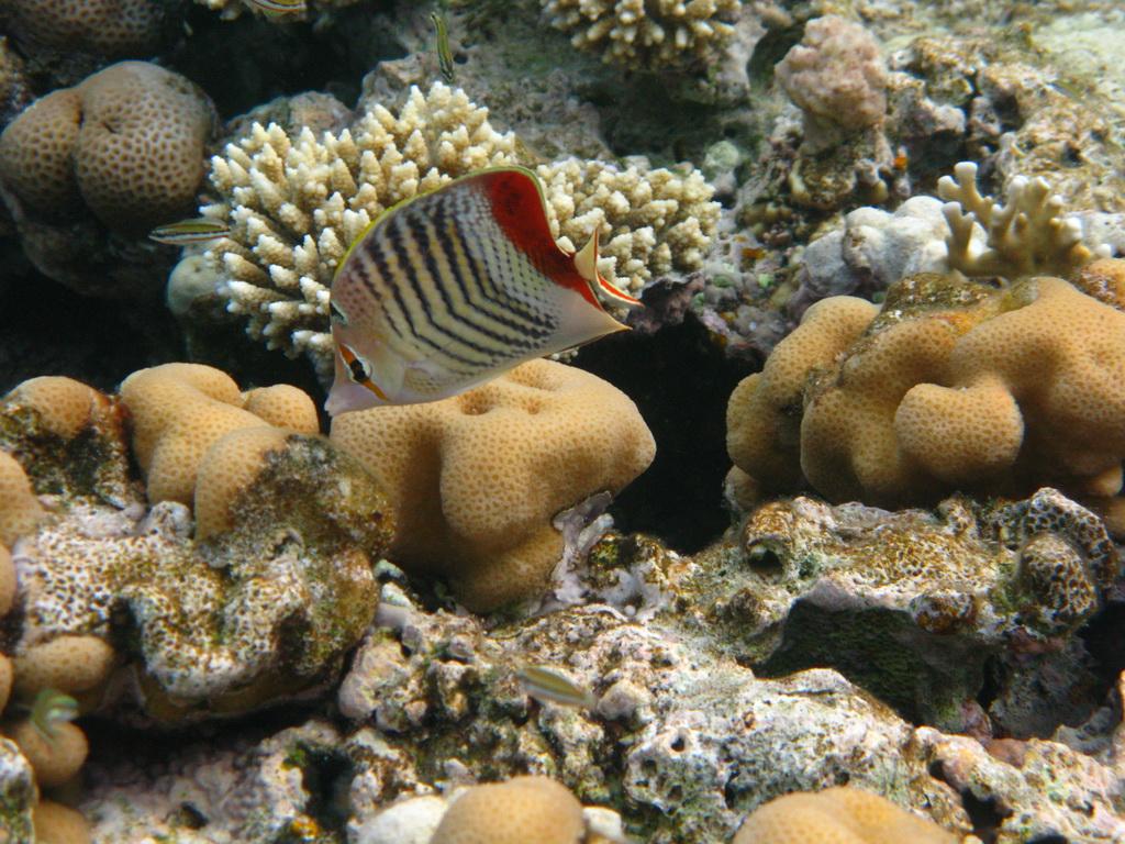 IMG_9698 Красноспинная рыба-бабочка.JPG