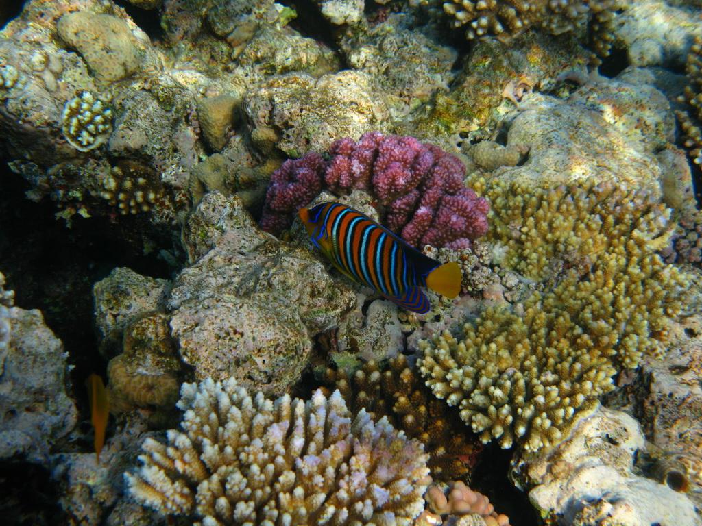 IMG_139 Королевская рыба-ангел8.JPG