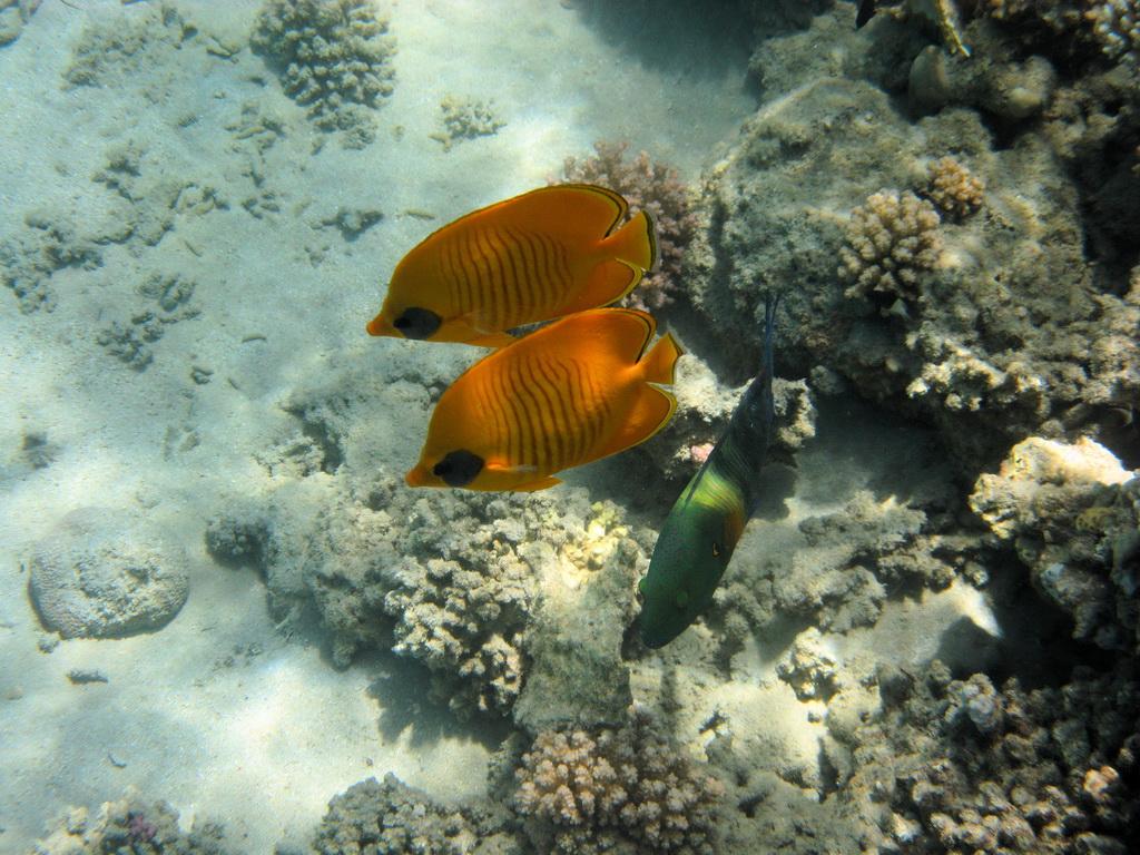 IMG_3780_Рыбы-бабочки в маске и Перьехвостый хейлин.JPG