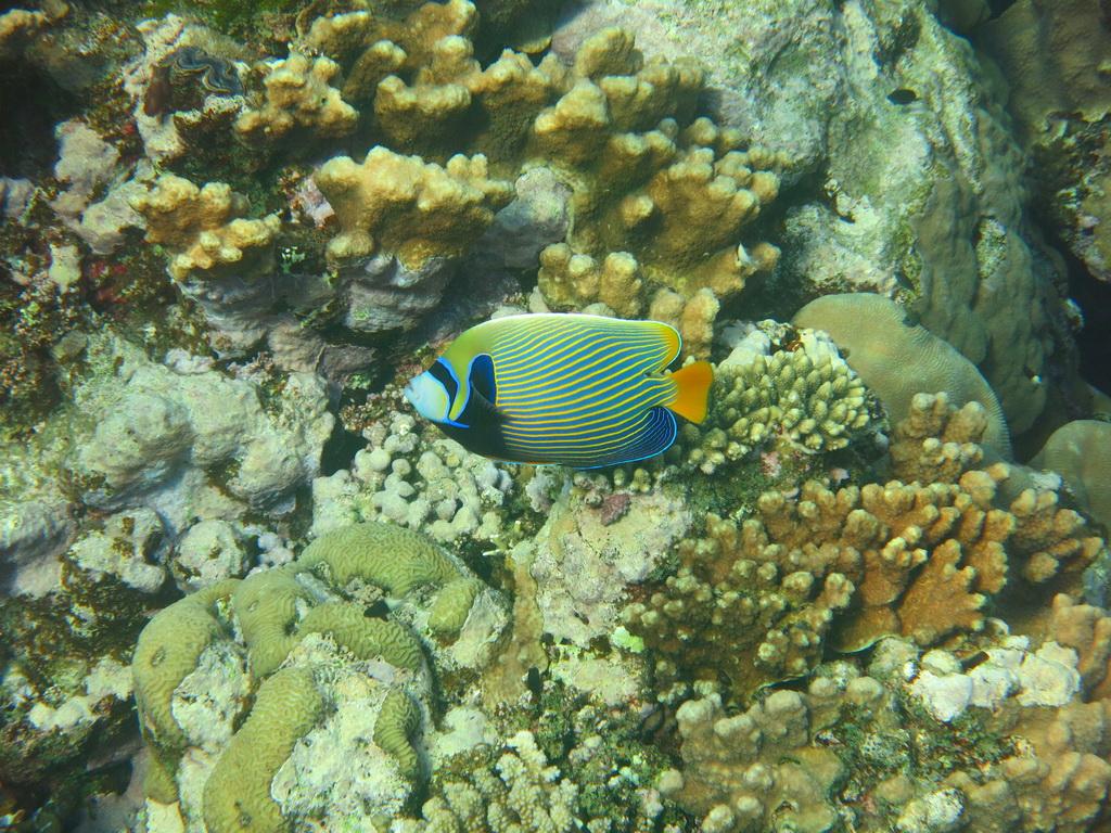IMG_0785_Императорская рыба-ангел.JPG