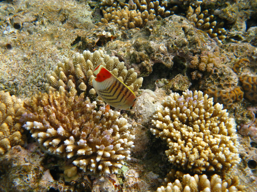 IMG_3778 Красноспинная рыба-бабочка.JPG