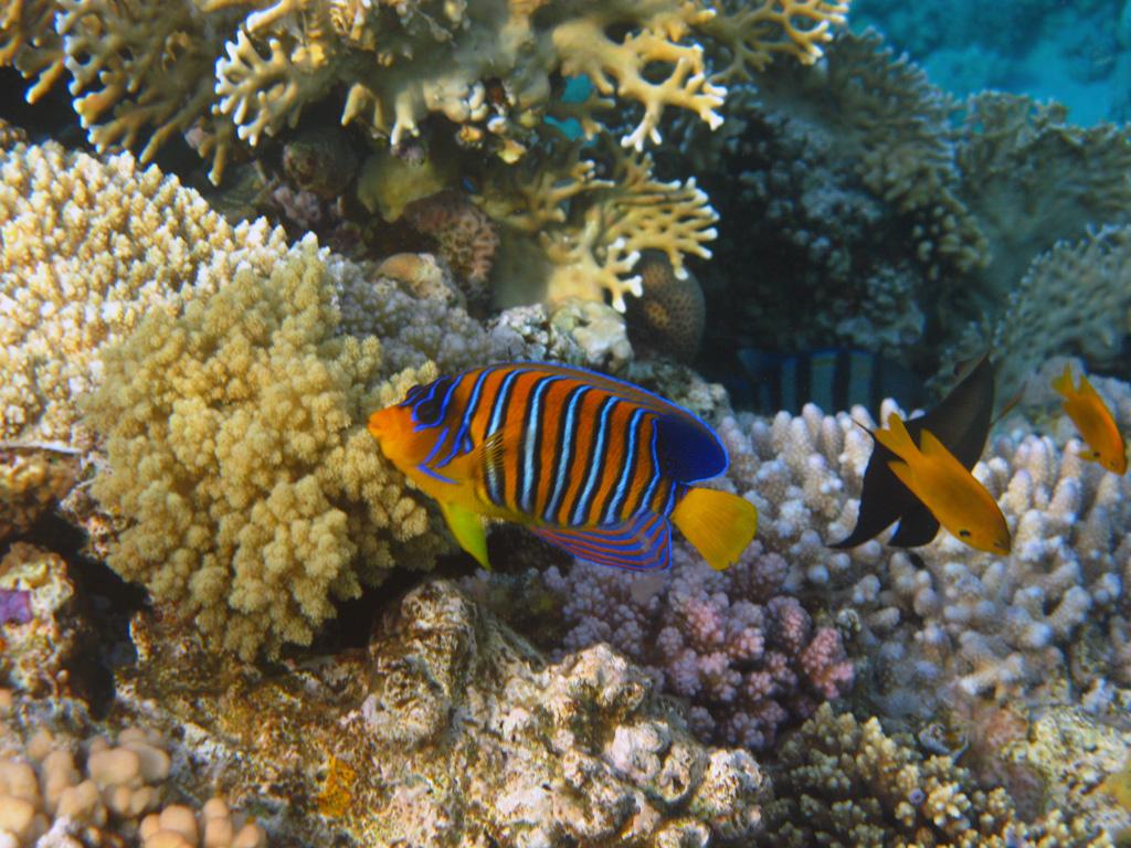 IMG_8422_Королевская рыба-ангел.jpg