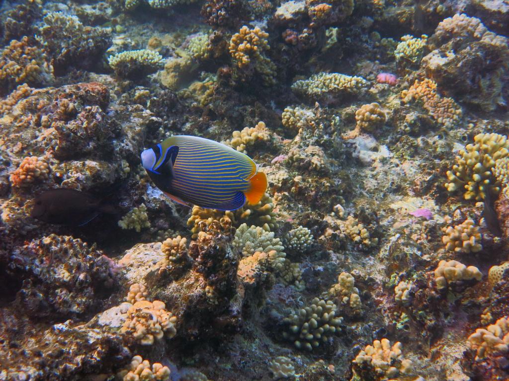 IMG_0695_Императорская рыба-ангел.JPG