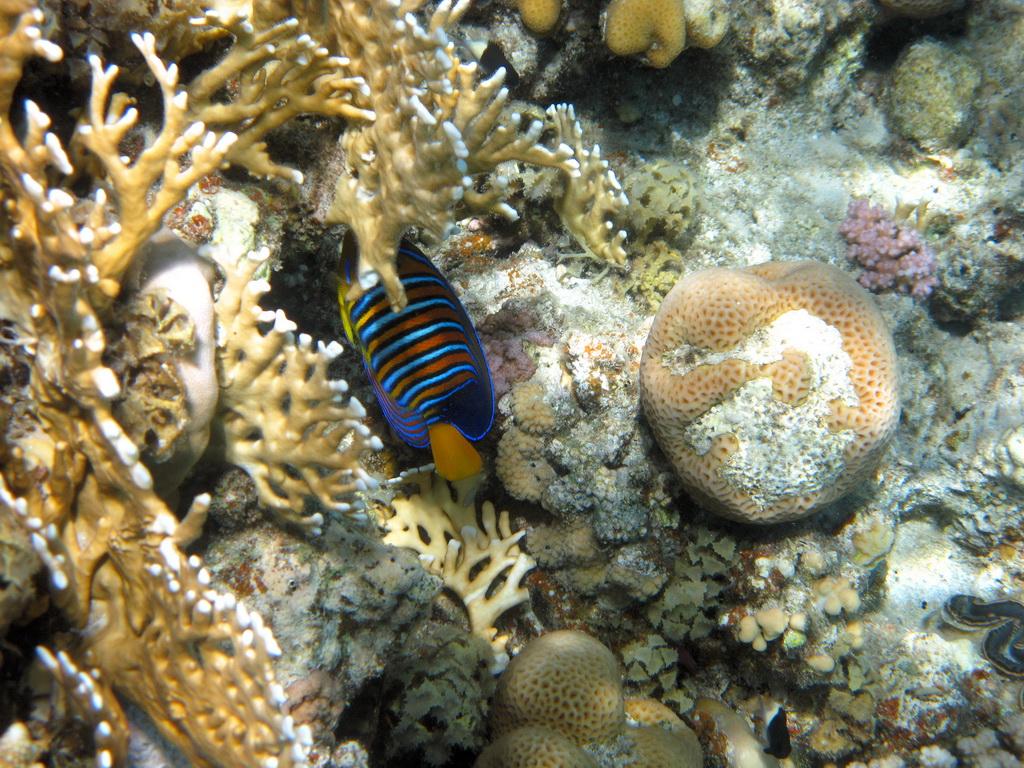IMG_3735_Королевская рыба-ангел.JPG
