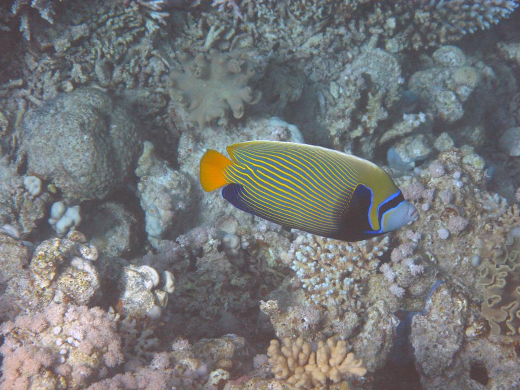 IMG_7948_Императорская рыба-ангел.jpg
