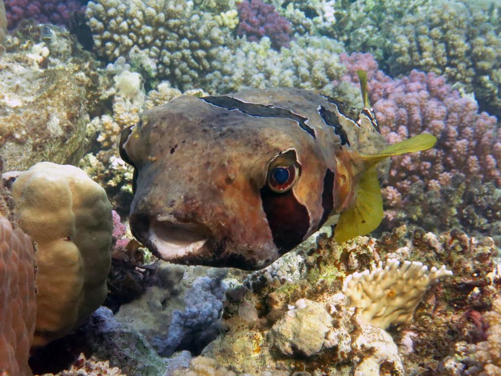IMG_1729_Чернопятнистая рыба-еж.JPG