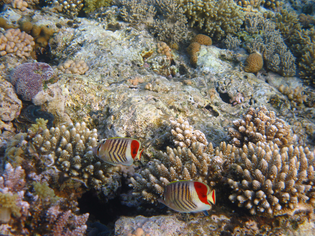 IMG_8795_Красноспинные рыбы-бабочки.jpg