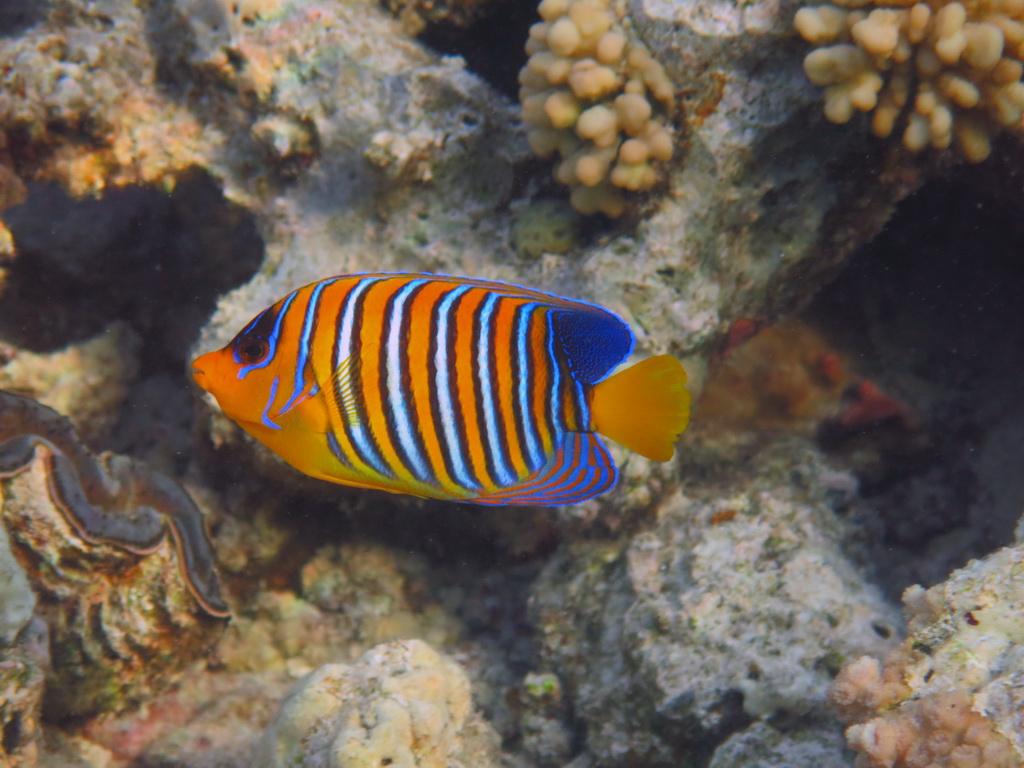 IMG_4300_Королевская рыба-ангел.JPG