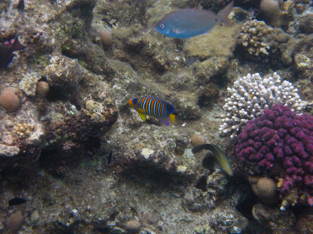 IMG_2896_Королевская рыба-ангел.jpg