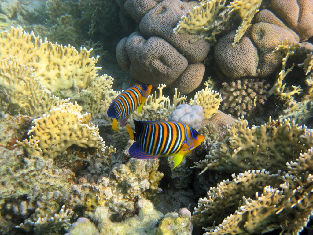 IMG_6652_Королевская рыба-ангел.JPG