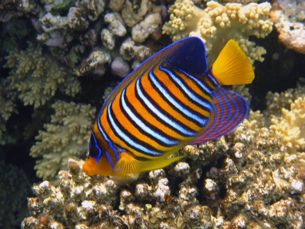 IMG_7699_Королевская рыба-ангел.jpg