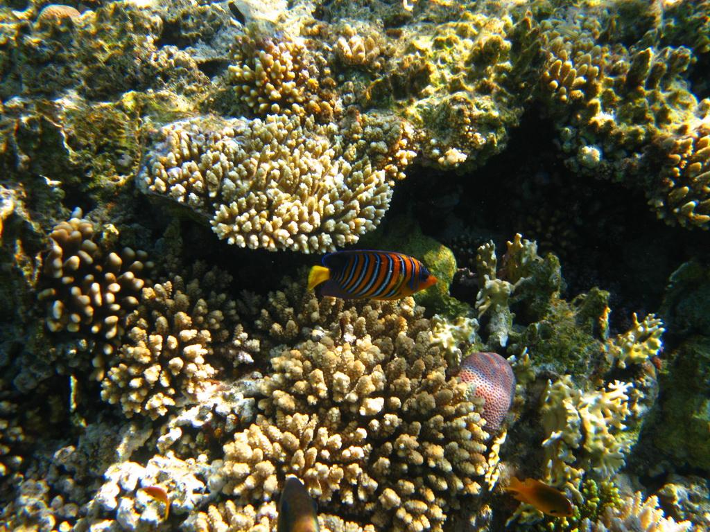 IMG_1429 Королевская рыба-ангел.JPG
