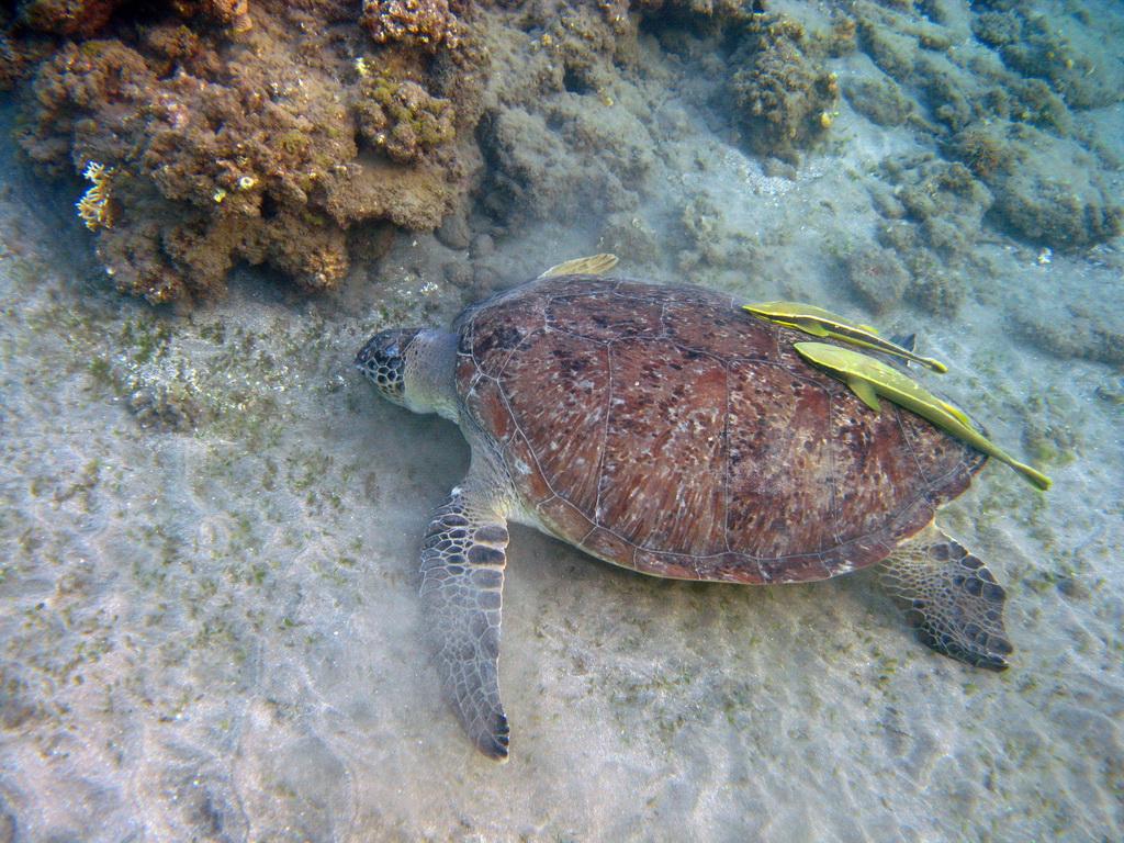 IMG_3368+Зеленая+черепаха.JPG
