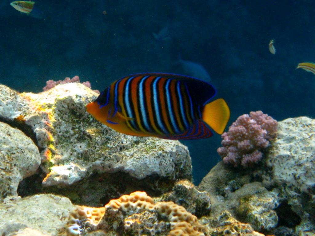 IMG_0903 Королевская рыба-ангел.JPG