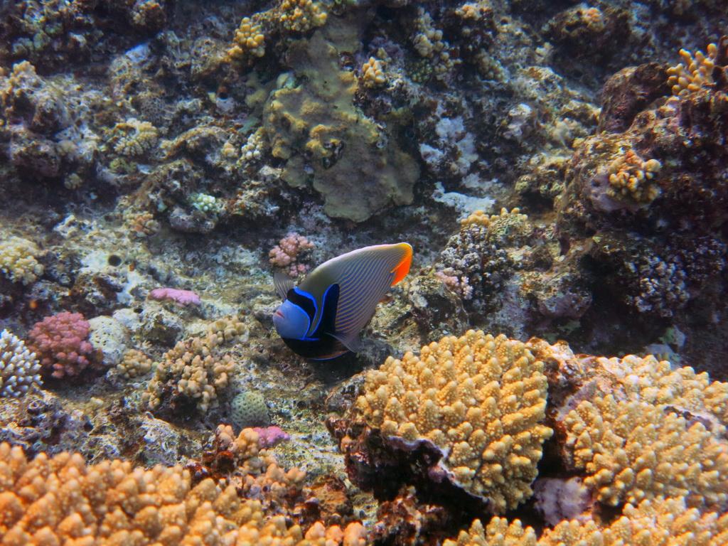 IMG_0697_Императорская рыба-ангел.JPG