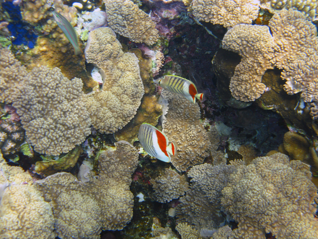 IMG_5394_Красноспинные рыбы-бабочки.jpg