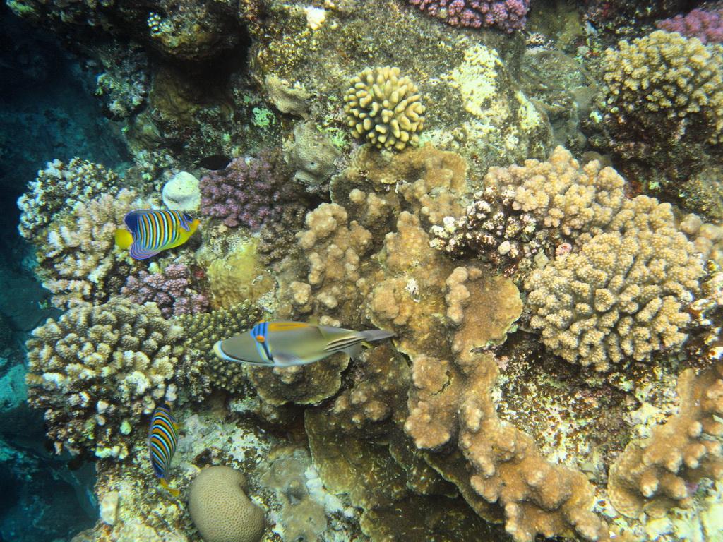 IMG_4250_Королевская рыба-ангел и Ринекант Пикассо.JPG