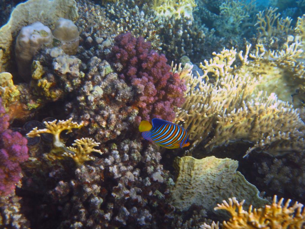 IMG_5423 Королевская рыба-ангел.JPG