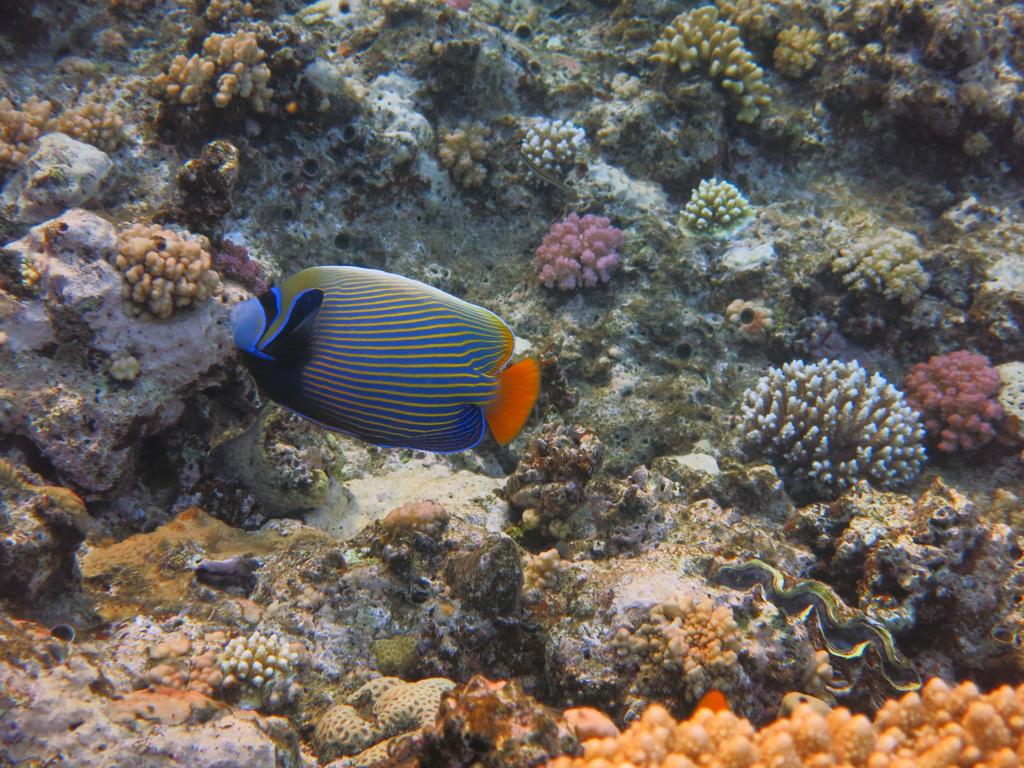 IMG_0698_Императорская рыба-ангел.JPG