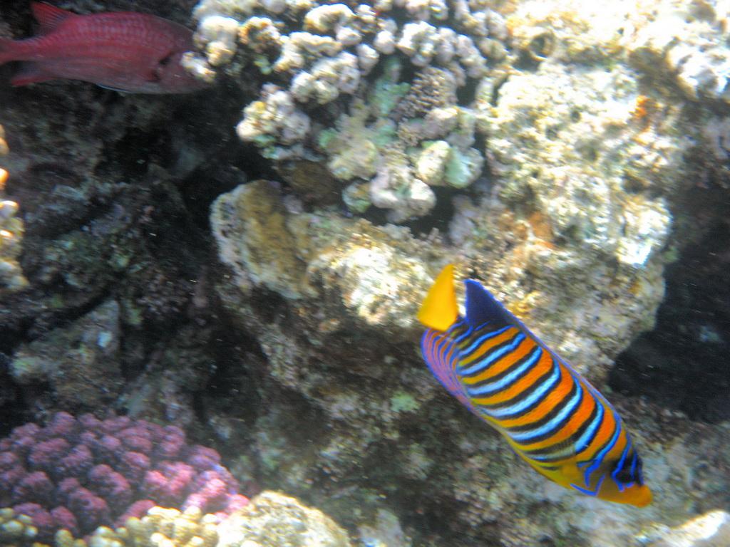 IMG_2065_Королевская рыба-ангел.JPG
