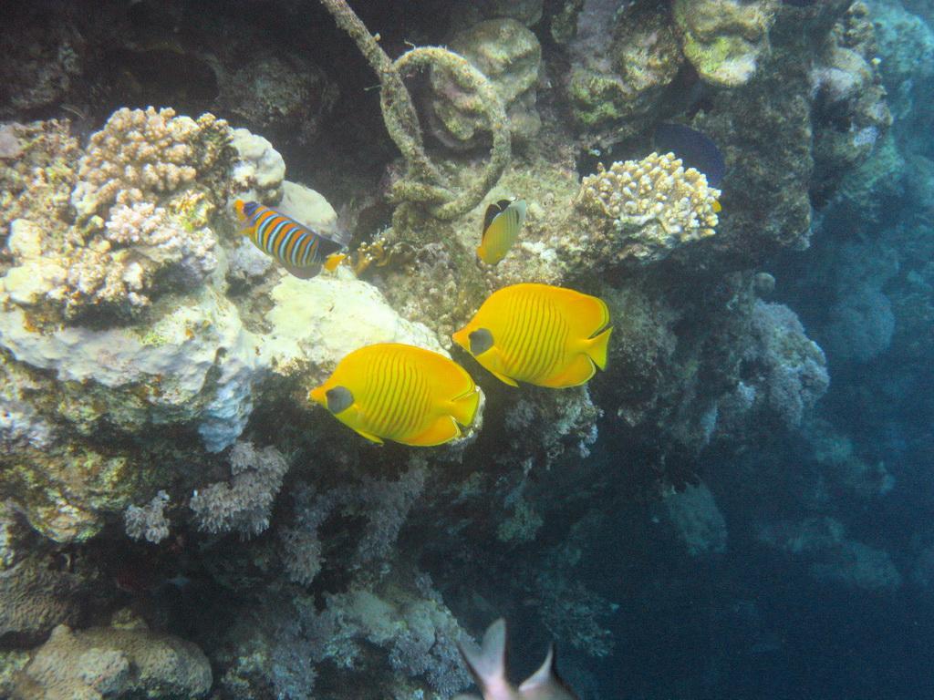 IMG_1796_Рыбы-бабочки в маске и Королевская рыба-ангел.JPG