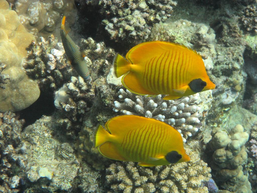 IMG_2791_Рыбы-бабочки в маске и Оранжевоперый спинорог.JPG