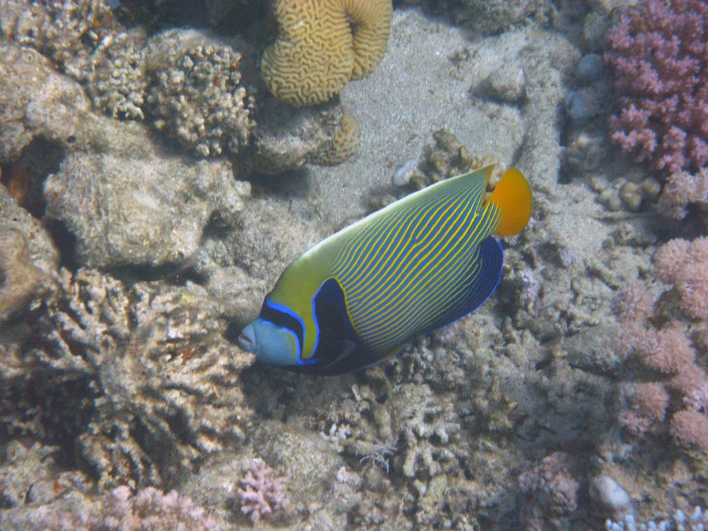 IMG_7921_Императорская рыба-ангел.jpg