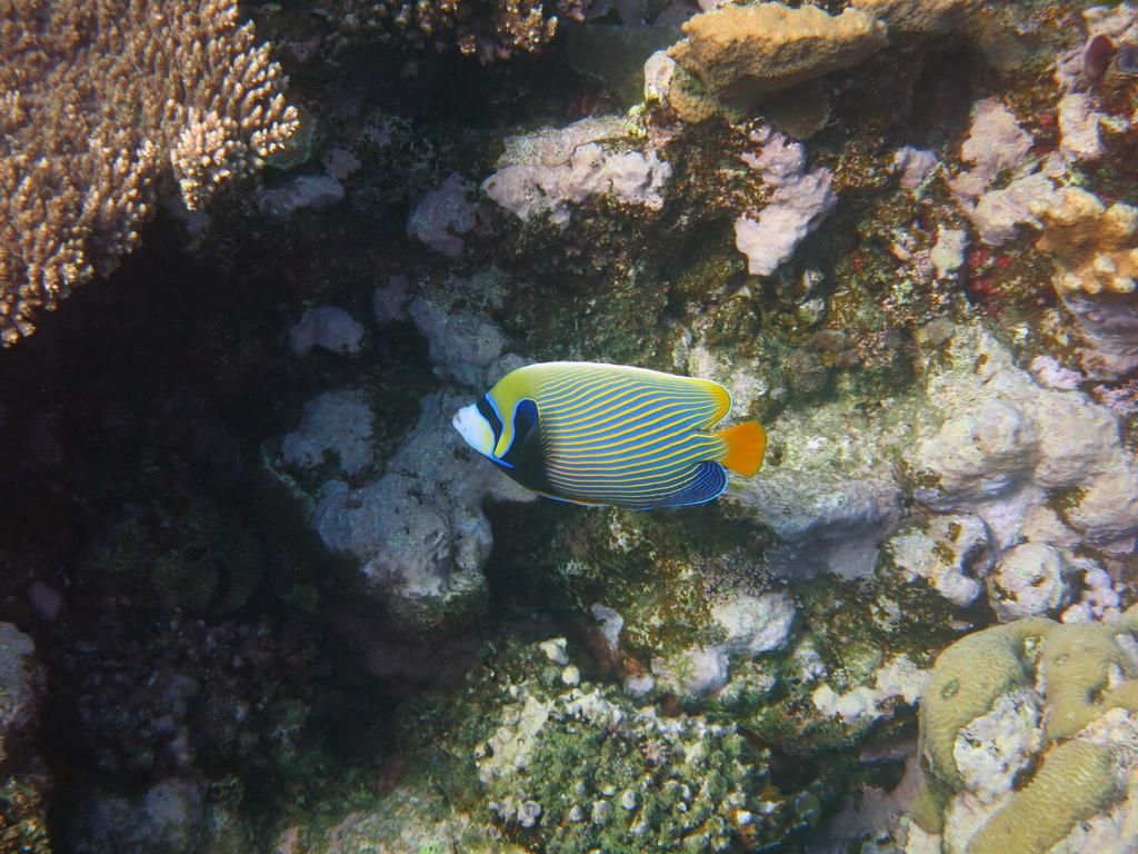 IMG_0786_Императорская рыба-ангел.JPG