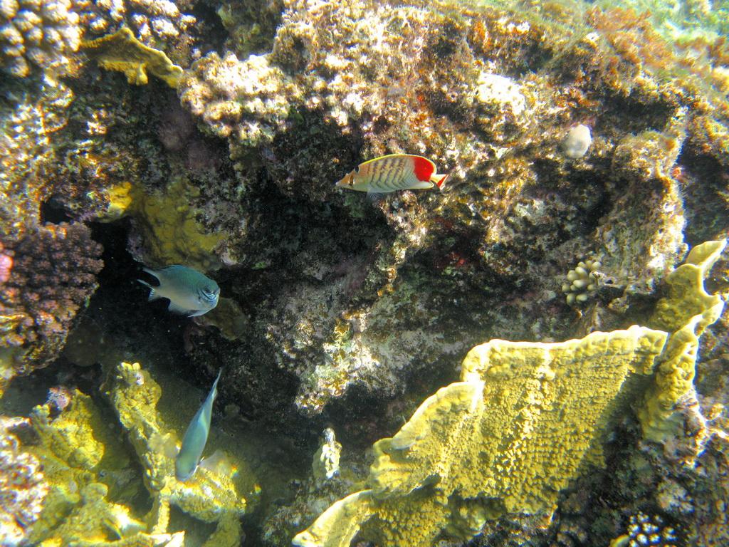 IMG_4483_Красноспинная рыба-бабочка.JPG