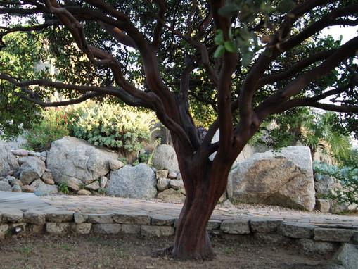 Manzanita.........Ancient Beauty