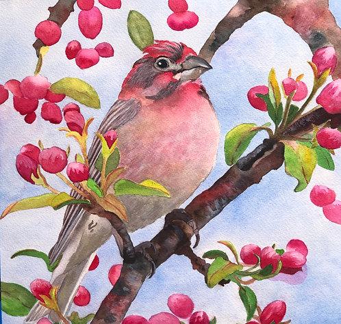 Mr. Red Finch