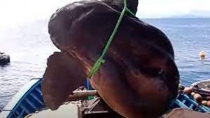 """マグロ漁で引っかかった""""獲物""""が 巨大すぎてびっくりマンボウ!【クーリエ・ジャポンからの抜粋-Vol.179】"""