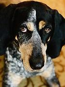 Coonhound.jpg