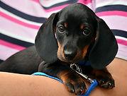 dachshund-1519374_640.jpg